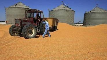 Des travailleurs égyptiens dans un champ de maïs le 21 septembre 2008 près du Caire