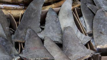 Saisie de plus d'une tonne d'ailerons de requin et de raie à Brussels Airport