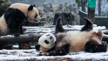 La neige ne semble pas embêter les pandas du zoo de Hangzhou, dans l'est de la Chine.