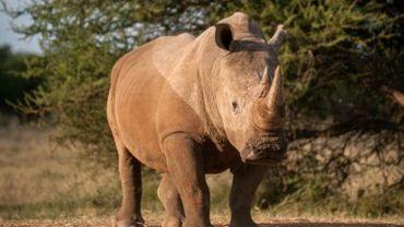 Afrique du Sud: saisie de cornes de rhinocéros d'une valeur de 6 millions d'euros
