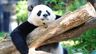 Un panda géant dans le zoo de Washington, le 24 août 2016