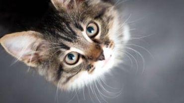 Au total, un petit cinquième des 141.000 chats bruxellois seraient identifiés, estime la Région.