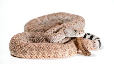 Royaume-Uni : un serpent ne peut pas servir de masque, rappellent les autorités