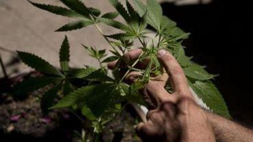 Les plantations de cannabis explosent à Bruxelles et en Wallonie