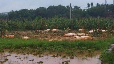 Photo prise le 22 juillet 2012 montrant des cochons morts après des inondations dans les environs de  la ville de Chongqing