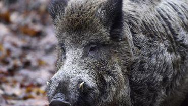 Peste porcine: cinq nouveaux cadavres de sanglier retrouvés dans la zone infectée