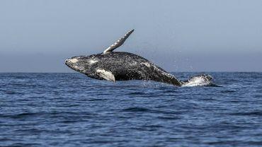 Photo archive prise le 15 mars 2018 montrant une baleine (Megaptera novaeangliae) dans l'océan Pacifique à Los Cabos