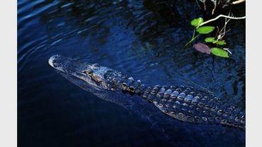 Un crocodile dans la réserve naturelle des Everglades en Floride
