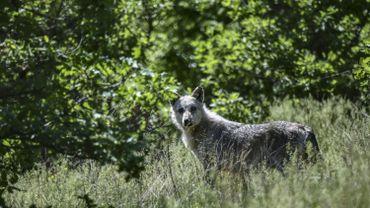 Au printemps, la louve Naya avait été repérée dans le Limbourg. Un deuxième individu, un mâle cette fois, y serait désormais également actif.