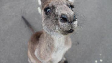 Un kangourou en vadrouille à Kruishoutem, la police recherche son propriétaire