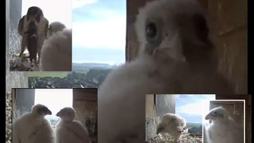 Les deux fauconneaux ne quitteront pas le nid avant plusieurs semaines. Leur nourriture se compose essentiellement de lambeaux de chair de proies ramenées par les parents (le plus souvent des pigeons).