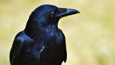 Des corbeaux pour ramasser les mégots dans un parc de loisirs français