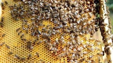 Des abeilles, le 1er juin 2012 à Colomiers, dans le sud de la France