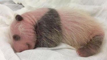 Le bébé panda de Pairi Daiza commence à ressembler à un panda.