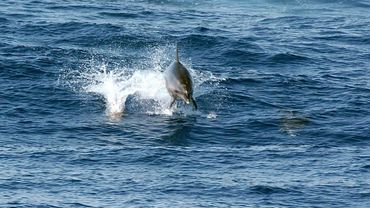 Photo prise le 17 juillet 2005 dans le golfe de Lava, près d'Ajaccio, d'un Grand dauphin (Tursiops truncatus)