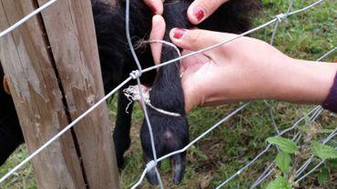 Des intrus ont attaché une brebis à une clôture de la Ferme des enfants