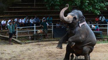 Un éléphant lors d'un exercice au zoo de Dehiwala, près de Colombo, le 18 juin 2016.