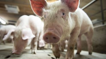 Vague de chaleur: Animal Rights réclame une interdiction de transporter les animaux par forte chaleur