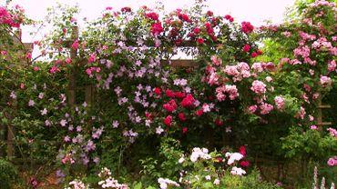 Les rosiers de Bénédicte Louis