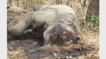 Un éléphant tué par des braconniers soudanais et tchadiens dans le parc national de Bouba Ndjidda, le 23 février 2012 au nord du Cameroun