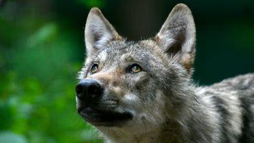 Un loup photographié dans le nord de l'Allemagne