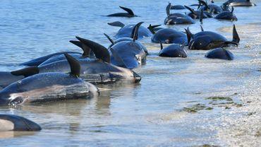 Des dauphins-pilotes échoués à Farewell Spit, au sud de la Nouvelle-Zélande, en février 2017
