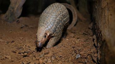 Le Nigeria a saisi huit tonnes d'écailles de pangolin et une soixantaine de sacs remplis d'ivoire ou d'os d'animaux.