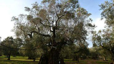 Un olivier partiellement infecté par la Xylella Fastidiosa, dans les Pouilles en Italie, le 11 février 2016