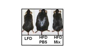 A gauche, une souris nourrie normalement; au milieu, une souris gavée avec des aliments très riches; à droite, une souris gavée également mais recevant le probiotique.