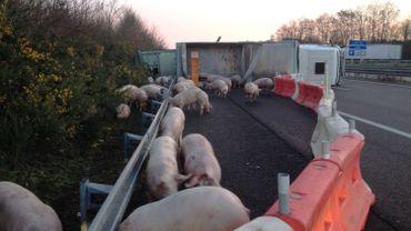 En janvier dernier déjà, un accident similaire s'était produit dans la même zone, laissant s'échapper de nombreux cochons sur l'autoroute A10.