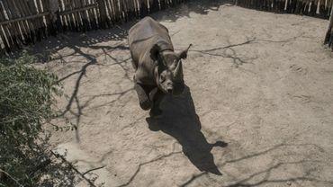 Un rhinocéros noir réintroduit dans le parc de Zakouma au Tchad, le 4 mai 2018.