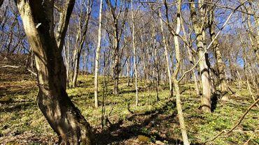 Les jonquilles ont commencé à tapisser les sous-bois et prairies: une floraison de quelques semaines.