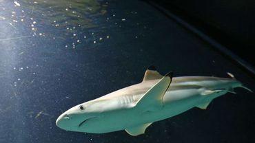 Le requin tue dix fois moins que les méduses, malgré ses grandes dents
