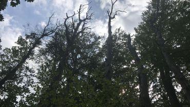 Des arbres qui meurent dans la forêt de Marche-les-Dames, victime du réchauffement climatique