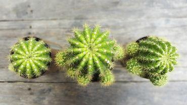 plante d 39 int rieur du mois le cactus. Black Bedroom Furniture Sets. Home Design Ideas