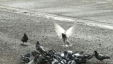 10.000 pigeons à Charleroi et 500 plaintes de citoyens chaque année.