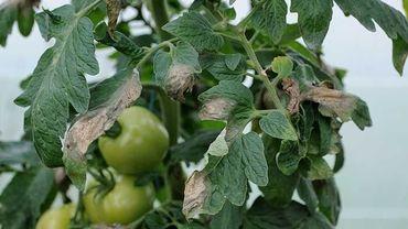 Le mildiou de la tomate, une maladie cryptogamique qui fait des ravages