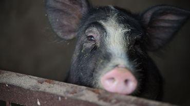"""Peste porcine africaine: la 36ème """"Journée de l'Agriculture"""" en Flandre sans les fermes porcines"""