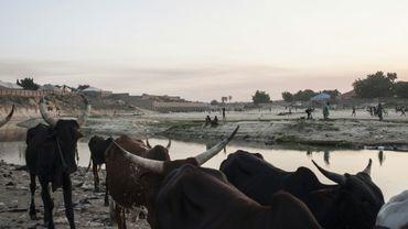 Un troupeau aux abords du lac Tchad, dans le nord-est du Nigeria le 6 décembre 2016