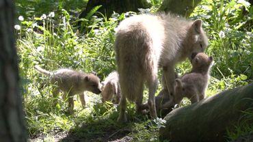 Quatre louveteaux arctiques naissent au Domaine des Grottes de Han (Photos et Vidéo)
