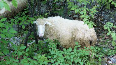 Des moutons pour éviter de tondre la pelouse