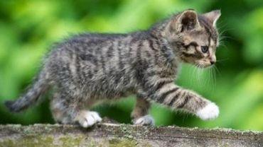 La Flandre veut rendre obligatoire la stérilisation des chats