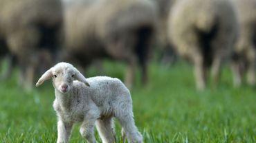 """""""L'agneau était initialement considéré comme la vache du pauvre."""""""
