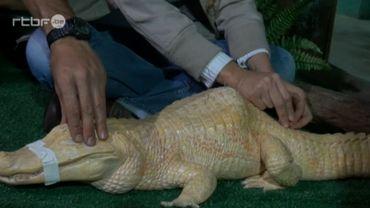 Alligator albinos bossu soigné par acupuncture