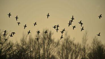 Environ un tiers des oiseaux nicheurs belges menacés au niveau européen
