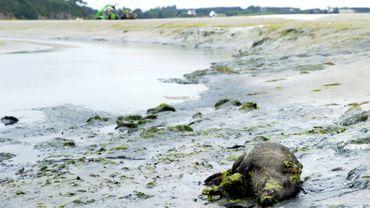 Un cadavre de sanglier dans la baie de Saint-Brieuc