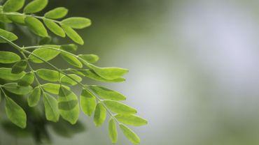 Moringa, l'arbre de vie qui fait rempart contre la malnutrition à Madagascar
