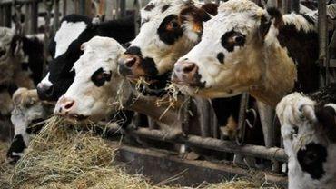 Les canettes ou déchets métalliques: un danger pour les vaches (illustration).
