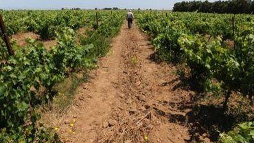 Des vignes près de Benslimane, au Maroc, le 12 juin 2013