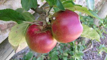 pommes 'Radoux'